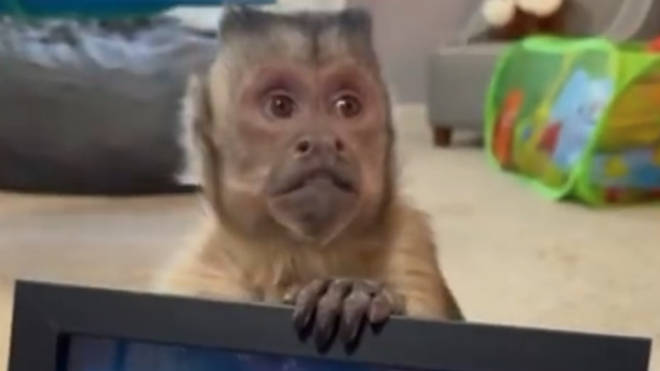 TikTok fans in morning as George The Monkey passes away