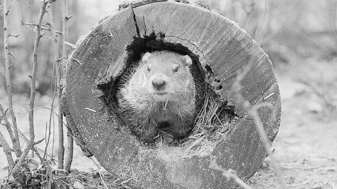 Lincoln Park Zoo's groundhog, Chubby II, predicts an early spring in 1975.